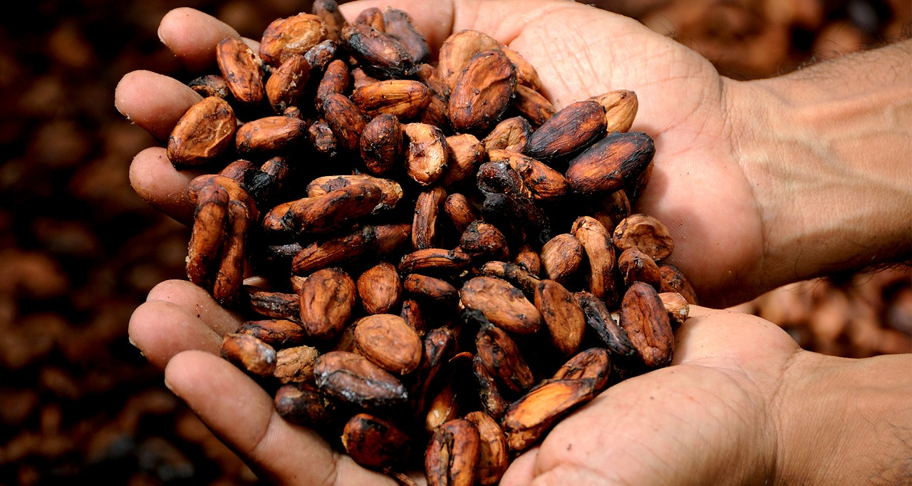 cocoa beans hands