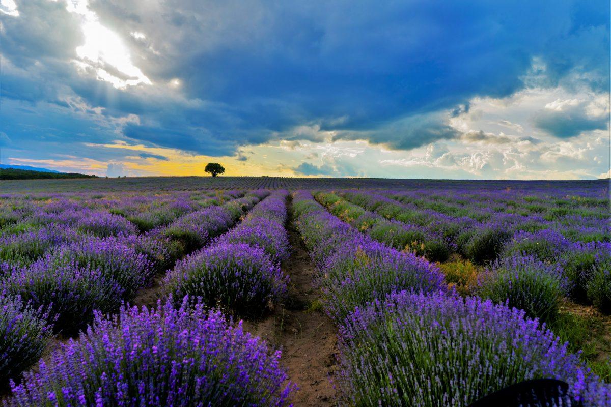 лавандулово поле българия